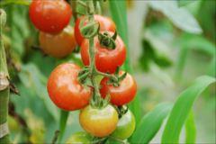 ミニトマトの栽培の仕方