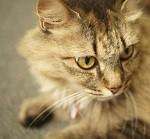 猫の花粉症の症状は?対策どうする薬や治療は?