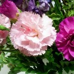 カーネーション鉢植えの管理方法。お手入れと植え替え時期徹底ガイド